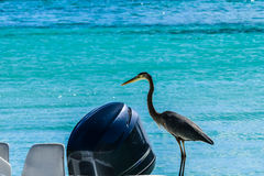 Herron. Languishes on small boat deck in Caribbean island beach Royalty Free Stock Photos