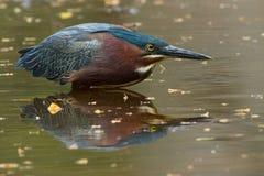Herron vert reflété dans l'étang Image libre de droits