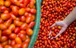 Herry śliwkowi pomidory w ręce Obraz Royalty Free