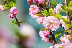 Herry blomning för Ð-¡ Arkivbild