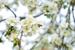 Сherry blossom Stock Image
