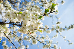 Сherry blossom Stock Images