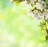 Сherry  blossom Stock Photography