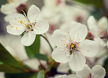 Сherry blossom. Vintage retro hipster style Stock Images