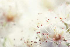 Сherry blossoms. Fresh, soft spring cherry tree blossoms Royalty Free Stock Photos