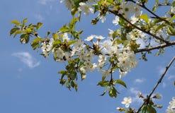 Сherry blossoms Stock Photo