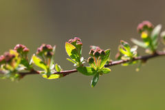 Сherry buds Royalty Free Stock Photo