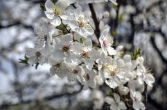 Сherry plum blossom Royalty Free Stock Photography