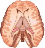 Hersenen Royalty-vrije Stock Fotografie