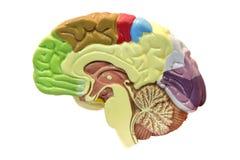 Hersenen Royalty-vrije Stock Afbeeldingen