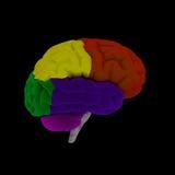Hersenen-cerebrum Royalty-vrije Stock Afbeelding