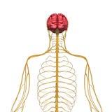 Hersenen en zenuwstelsel vector illustratie