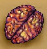 Hersenen - hoogste mening Royalty-vrije Stock Afbeeldingen