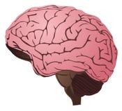 Hersenen op witte achtergrond Royalty-vrije Stock Afbeeldingen