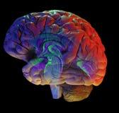 Hersenen op zwarte Royalty-vrije Stock Foto