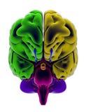 Hersenen, sectie, afdeling, scherpe delen, anatomiestudie vector illustratie