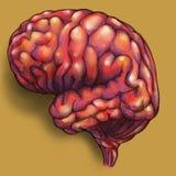 Hersenen - zijaanzicht Stock Afbeelding