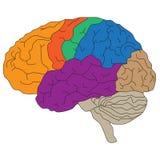 Hersenenhemisferen Vectorillustratie voor wetenschappelijke en medische presentaties Royalty-vrije Stock Foto
