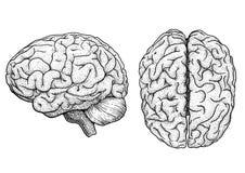Hersenenillustratie, tekening, gravure, inkt, lijnkunst, vector stock illustratie