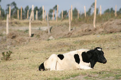 Hershey Cow Lying Down Stock Image