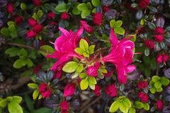 Hershey`s Red Azalea blossoms Royalty Free Stock Image