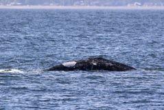 Herstel Gray Whale Surfacing stock afbeeldingen