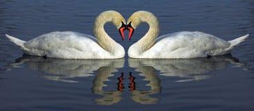 Hert del cisne Fotografía de archivo