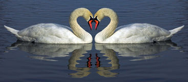 Hert of swan. Art, arm, bird, blue, brim, cob, day, fraction, heart, leaf, neck, red, swan, swan neck, swim, two, valentines, white, wing, reflection stock photography