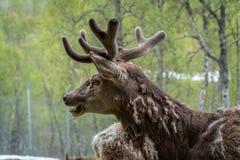 Herten Royalty-vrije Stock Afbeelding