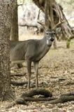 Herten achter boom Stock Foto