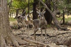 Herten achter boom Royalty-vrije Stock Afbeelding