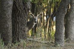 Herten achter boom Stock Afbeeldingen