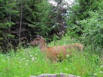 Herten Achterste in bos Royalty-vrije Stock Fotografie