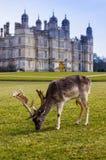 Herten bij Burghley-Huis Royalty-vrije Stock Afbeeldingen
