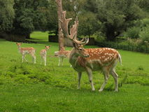 Herten bij het hertenkamp Royalty-vrije Stock Fotografie