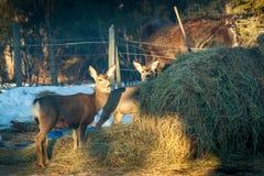 Herten bij het Paardenhooi stock afbeeldingen