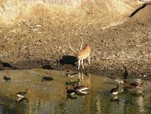 Herten bij Waterpoel Royalty-vrije Stock Afbeeldingen