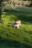 Herten bij zonsondergang Stock Foto's