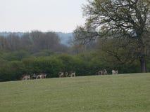 Herten in de Nauwe vallei stock foto's