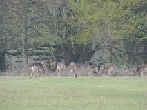 Herten in de Nauwe vallei royalty-vrije stock foto's