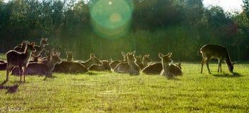 Herten in de ochtend Royalty-vrije Stock Foto's