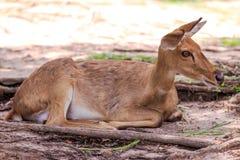 Herten in de open dierentuin Stock Afbeeldingen