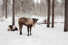 Herten in de sneeuw. Stock Afbeelding