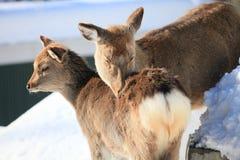Herten in de sneeuw Stock Afbeelding