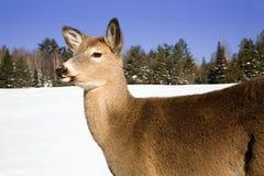 Herten in de Sneeuw Royalty-vrije Stock Foto's