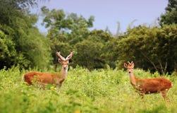 Herten in de wildernis Royalty-vrije Stock Afbeeldingen