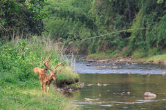 Herten in de wildernis naast de rivier Stock Afbeelding