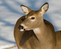 Herten in de Winter Stock Fotografie