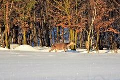 Herten in de winter op de sneeuw Royalty-vrije Stock Foto