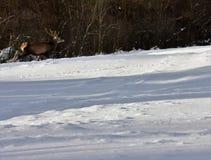 Herten in de winter op de sneeuw Stock Foto's